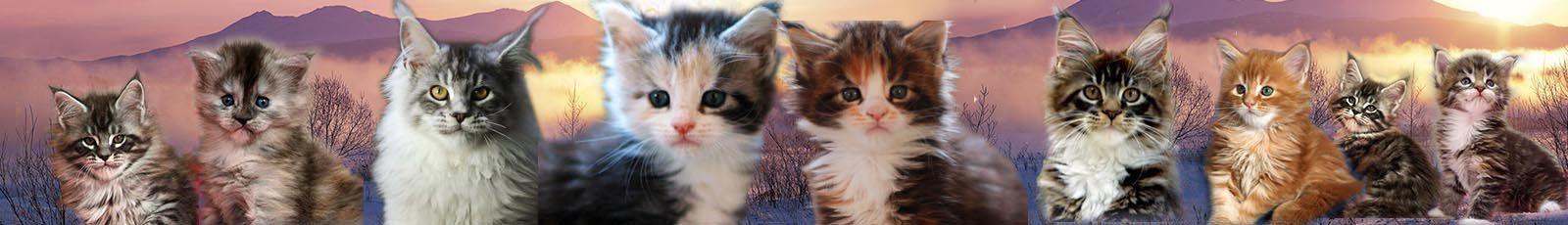 chatons maine coon roux, roux et blanc, tortie silver, tortie et blanc