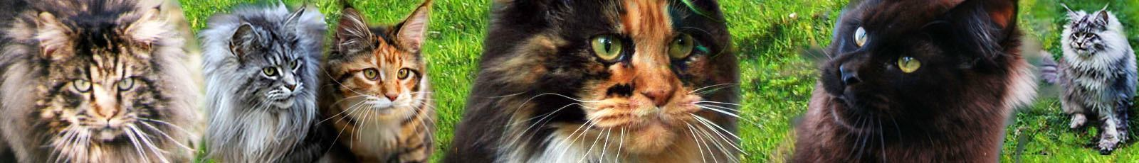 chatons maine coons Ile de France