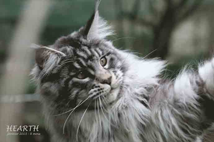 élevage maincoon, vente chatons mainecoon, chats Maine-coon