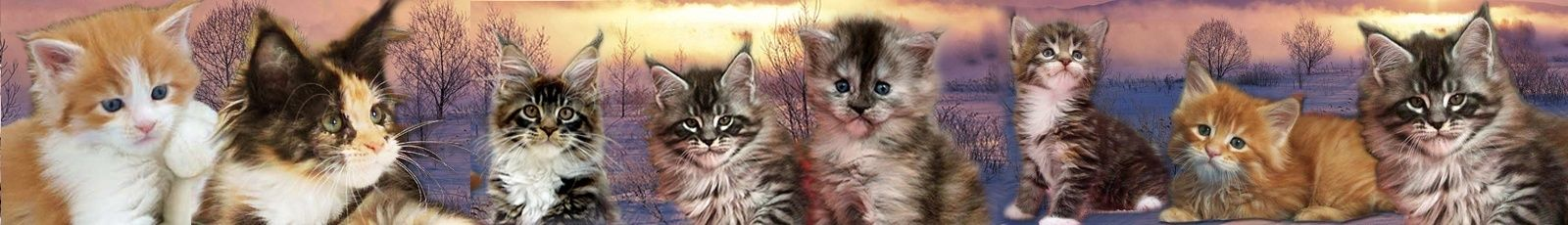 Chatons Maine coons silver, tortie smoke, brown, brown et blanc
