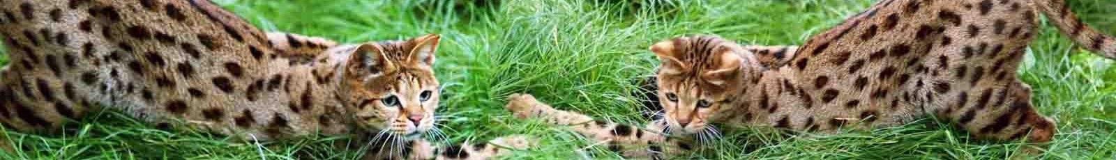Savannah, hybride de serval chatons 4ème et 5ème génération