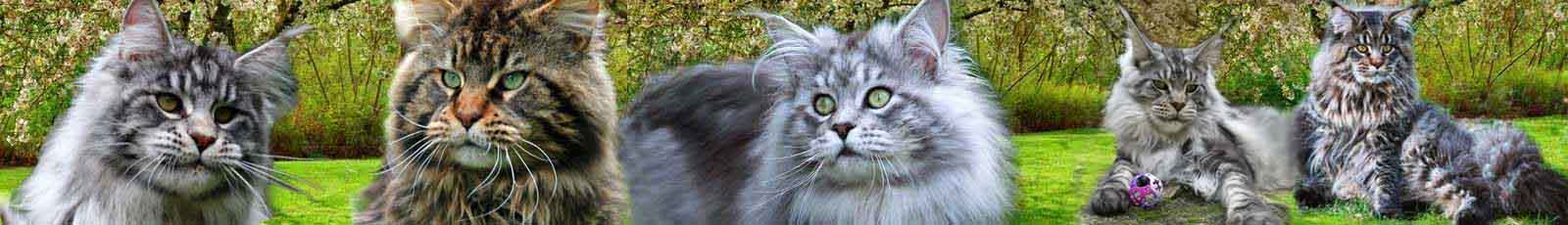Main coon mâles adultes slider