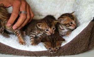 Portée de chatons Savannah