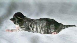 chaton Maine-Coon nouveau-né silver mackerel