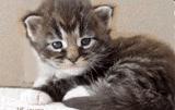 bébé chaton maine-coon