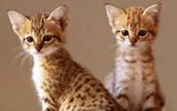chatons savannah, hybride de serval
