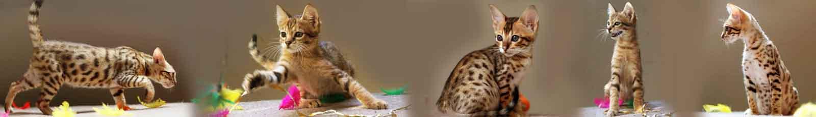 le savannah est un chat très sportif, il fait des bonds spectaculaires, il court très vite