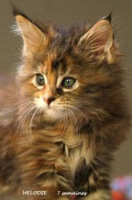 Chaton Maine coon Melodie de 7 semaines