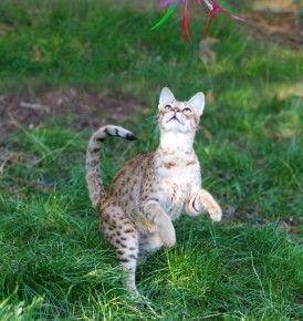 Jaffa femelle savannah, hybride de serval