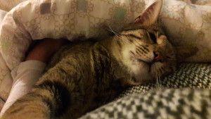 Rebelle chaton Savannah hybride 4ème génération