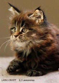 Lara Croft, chaton maine coon âgé de 6,5 semaines