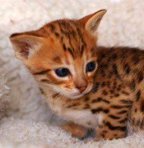 Navajo chaton mâle Savannah F3 de 25 jours