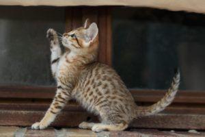 Naura chaton femelle Savannah hybride f4 née le 5.04.17