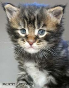 OUISTITI chaton maine coon