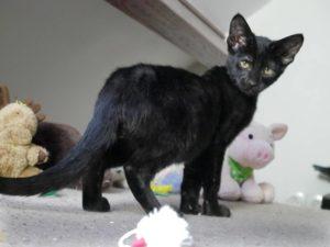 chaton savannah noir QAISER