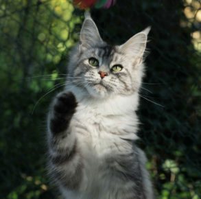 Natalia, chatte maine coon