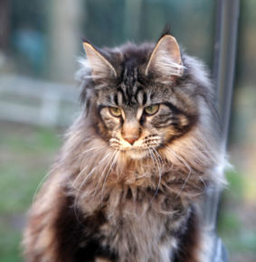 OUPETTE chatte maine coon